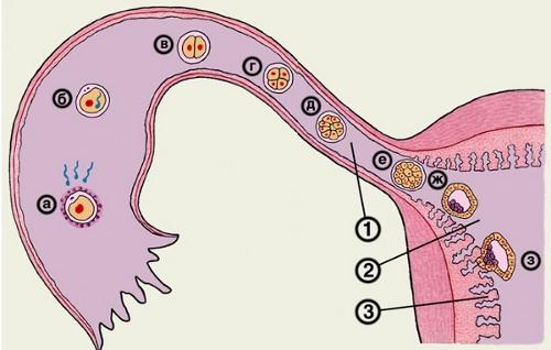 Как продвигается сперматозоид к яйцеклетке