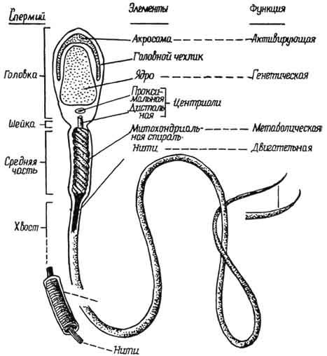 spermotozoid-i-ego-stroenie