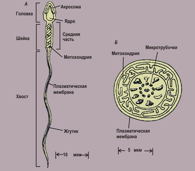 kak-spermatozoid-prohodit